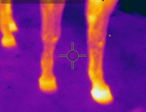 Thermal is used to check hoofs for problems